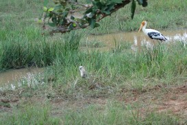 An eagle and a painted stork at Yala National Park
