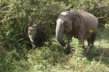 A cow and her calf, elephants at Yala National Park